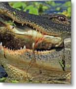 Alligator With Tilapia Metal Print