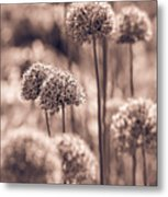 Allium 4 Metal Print
