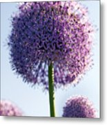 Allium Flower Metal Print