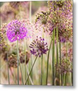 Allium Flowers Metal Print