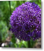 Allium Gladiator Closeup Metal Print