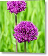 Alliums Metal Print