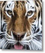 Alluring Tiger Metal Print