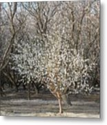 Almond Orchard 1 Metal Print