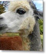 Alpaca Blue Metal Print