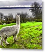 Alpaca Enjoying The View. Metal Print