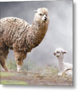 Alpacas Mum And Baby Metal Print