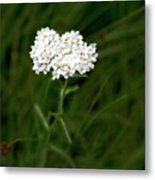 Alpine Yarrow Wildflower 1 Metal Print
