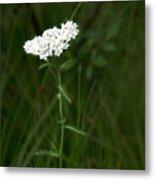 Alpine Yarrow Wildflower 2 Metal Print