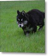 Alusky Puppy Creeping Through Green Grass Metal Print
