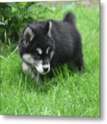 Alusky Puppy Dog Spotting A Toy To Play With Metal Print