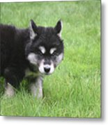 Alusky Puppy Looking Like  He Was Caught Red Handed Metal Print