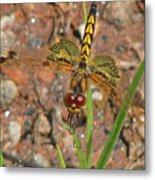 Amanda's Pennant Dragonfly Female Metal Print