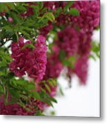 Amaranth Pink Flowering Locust Tree In Spring Rain Metal Print
