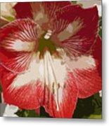 Amaryllidaceae Hippeastrum Stargazeramarylllis Metal Print
