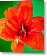 Amaryllis Contrast Orange Amaryllis Flower Appearing To Float Above A Deep Green Background Metal Print