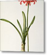 Amaryllis Curvifolia Metal Print by Pierre Redoute