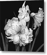 Amaryllis In Black And White Metal Print