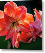 Amaryllis In February 5472 Metal Print