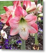 Amazing Amaryllis - Pink And White Apple Blossom Hippeastrum Hybrid Metal Print