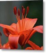 Amazing Blooming Orange Lilies Flowering In A Garden  Metal Print