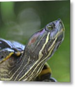 Amazing Close-up Painted Turtle Resting Metal Print