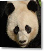Amazing Face Of A Beautiful Giant Panda Bear Metal Print