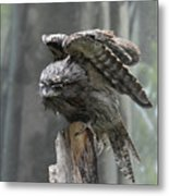 Amazing Frogmouth Bird With His Wings Extended Metal Print