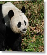 Amazing Giant Panda Bear Sitting In A Grass Field Metal Print