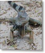 Amazing Iguana With A Striped Tail On A Beach Metal Print