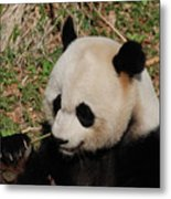 Amazing Panda Bear Holding On To Shoots Of Bamboo Metal Print