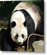 Amazing Sweet Chinese Giant Panda Bear Walking Around Metal Print