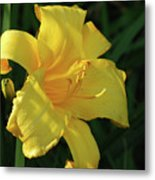 Amazing Yellow Lily Flowering In A Garden Metal Print