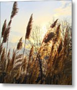 Amber Waves Of Pampas Grass Metal Print