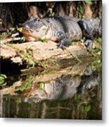 American Alligator With Caterpillar Metal Print