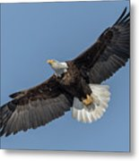 American Bald Eagle 2017-18 Metal Print