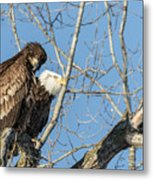 American Bald Eagle 2017-19 Metal Print