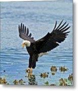 American Bald Eagle Sets Down On Fish Metal Print