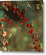 American Barberry With Raindrops Metal Print