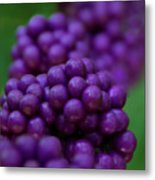 American Beautyberry Metal Print