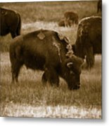 American Bison Grazing - Bw Metal Print