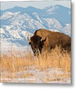 American Bison In Front Of The Rocky Mountains Metal Print