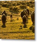 American Bison Sunset March Metal Print