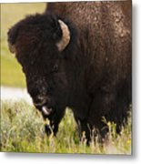 American Bison Tongue Metal Print