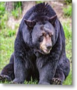 American Black Bear Metal Print
