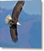 American Blad Eagle On The Wing Metal Print