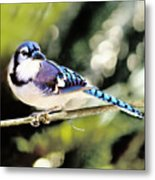 American Blue Jay On Alert Metal Print