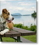 American Breed On Table Metal Print