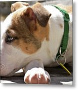 American Breed Puppy Metal Print