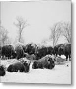 American Buffalo #3 Metal Print